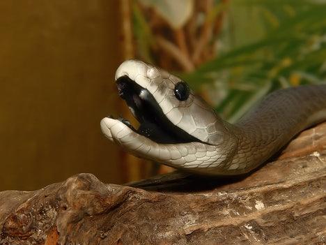 slangengif alternatief voor morfine? | eos wetenschap
