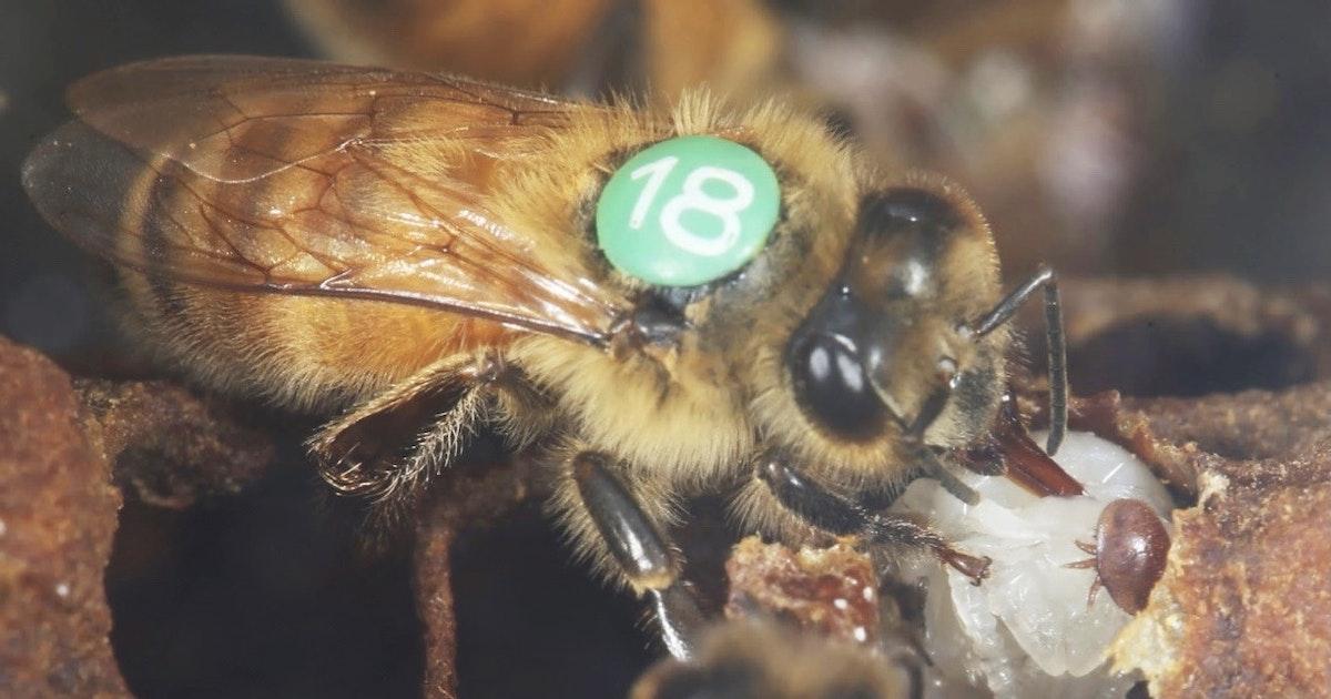 Werkbij ruikt gevaarlijke varroamijt en komt in actie - Eos Wetenschap