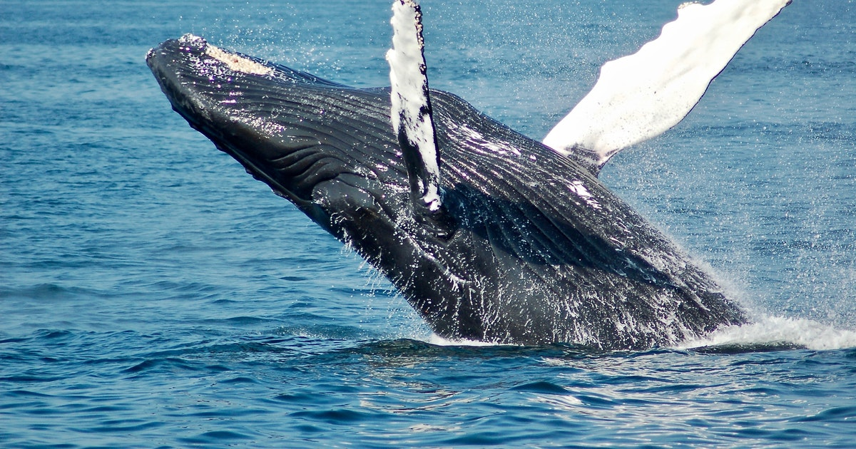 Blue Whale Nummer